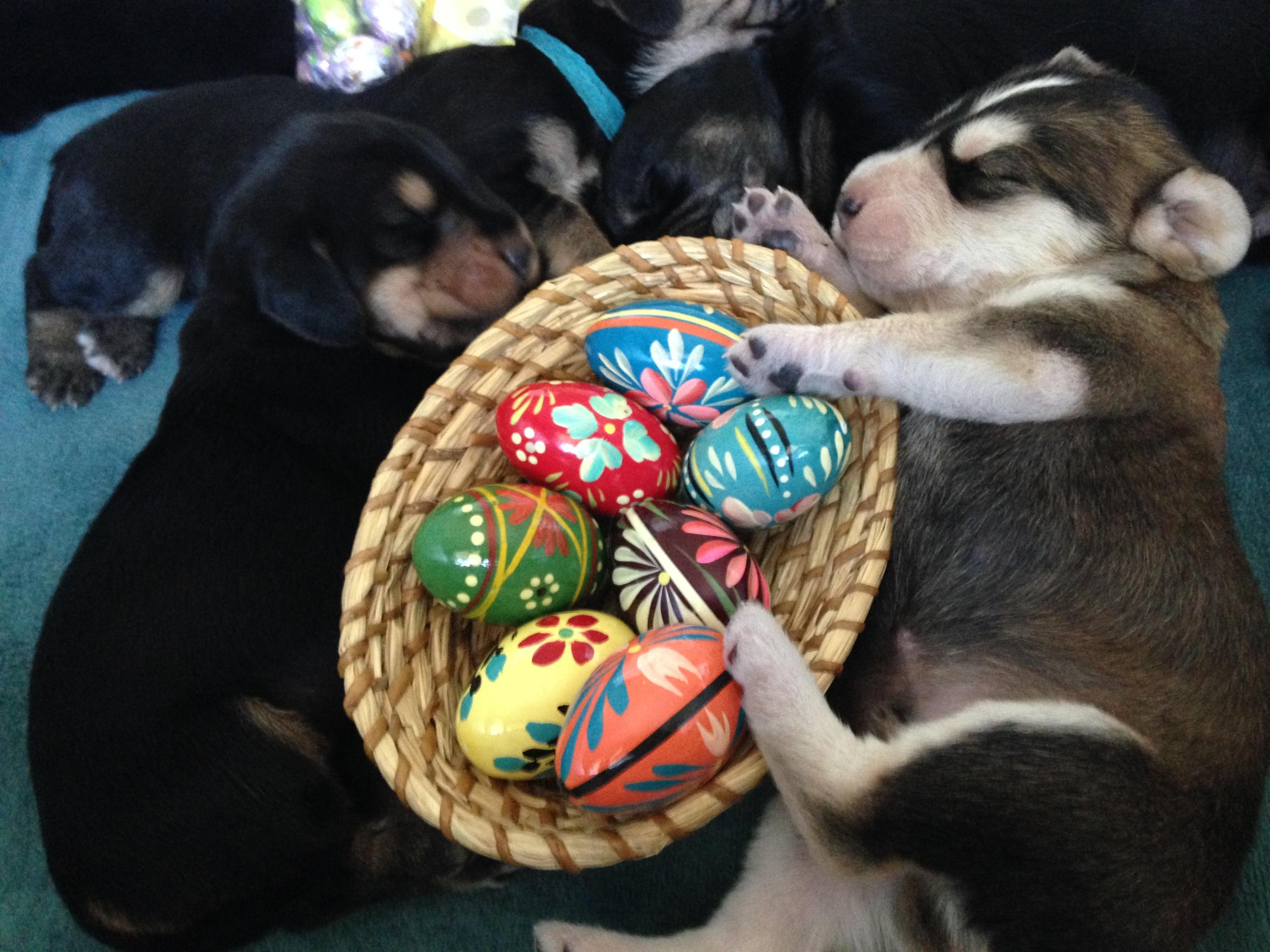 Blue Fairy Otterhound Puppies 2016: Day 9 – Easter Pups ...