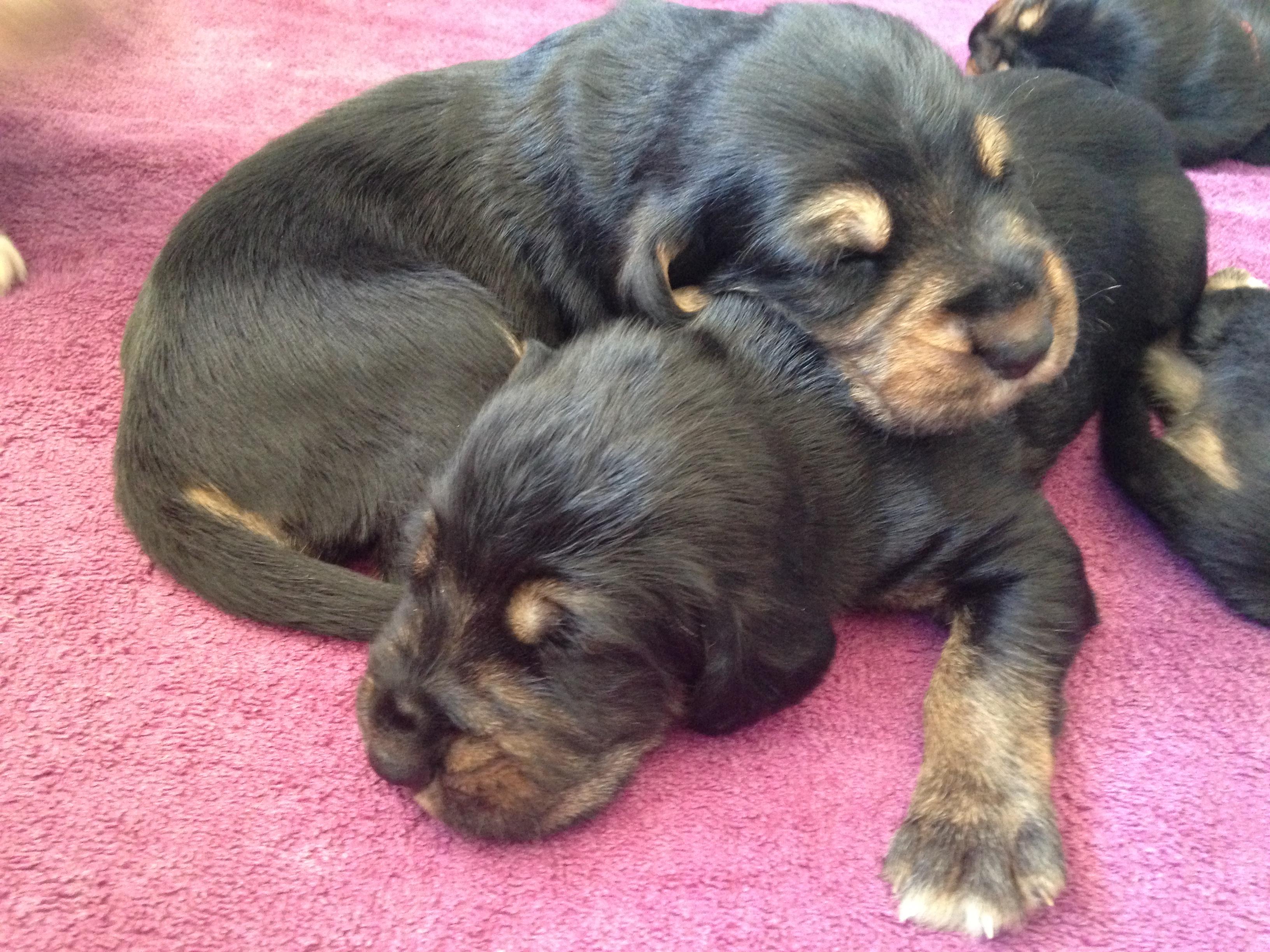 Blue Fairy Otterhound Puppies 2016: Day 15   Blue Fairy ...