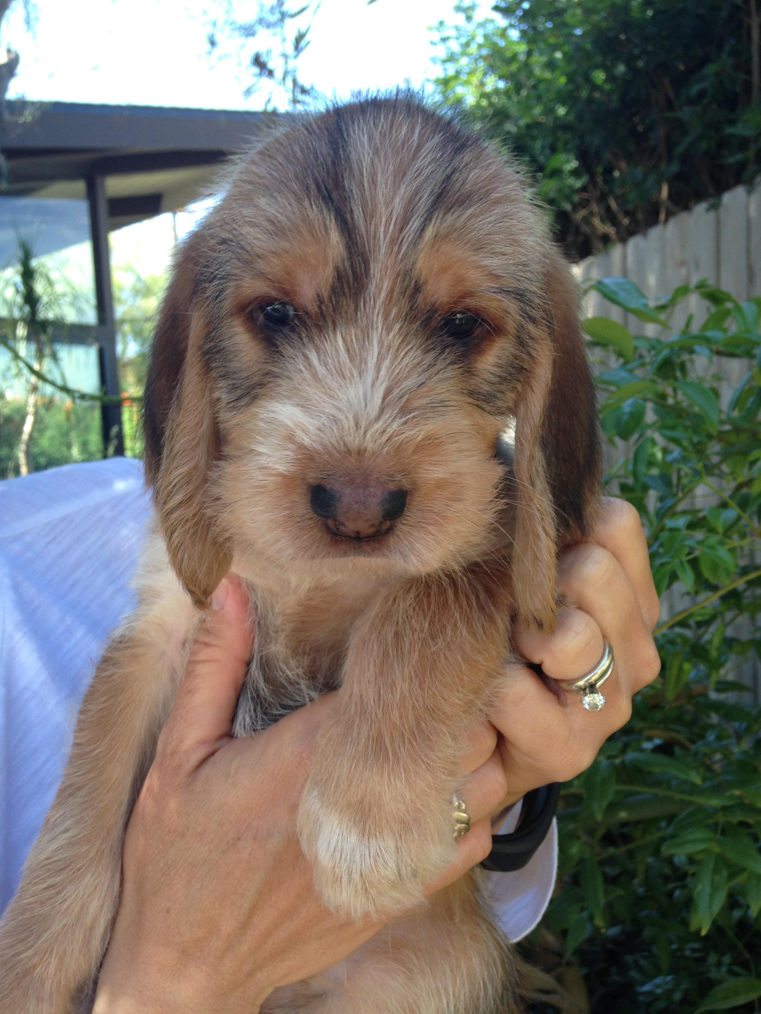 Blue Fairy Otterhound Puppies 2016: Day 37 – Nessa   Blue ...