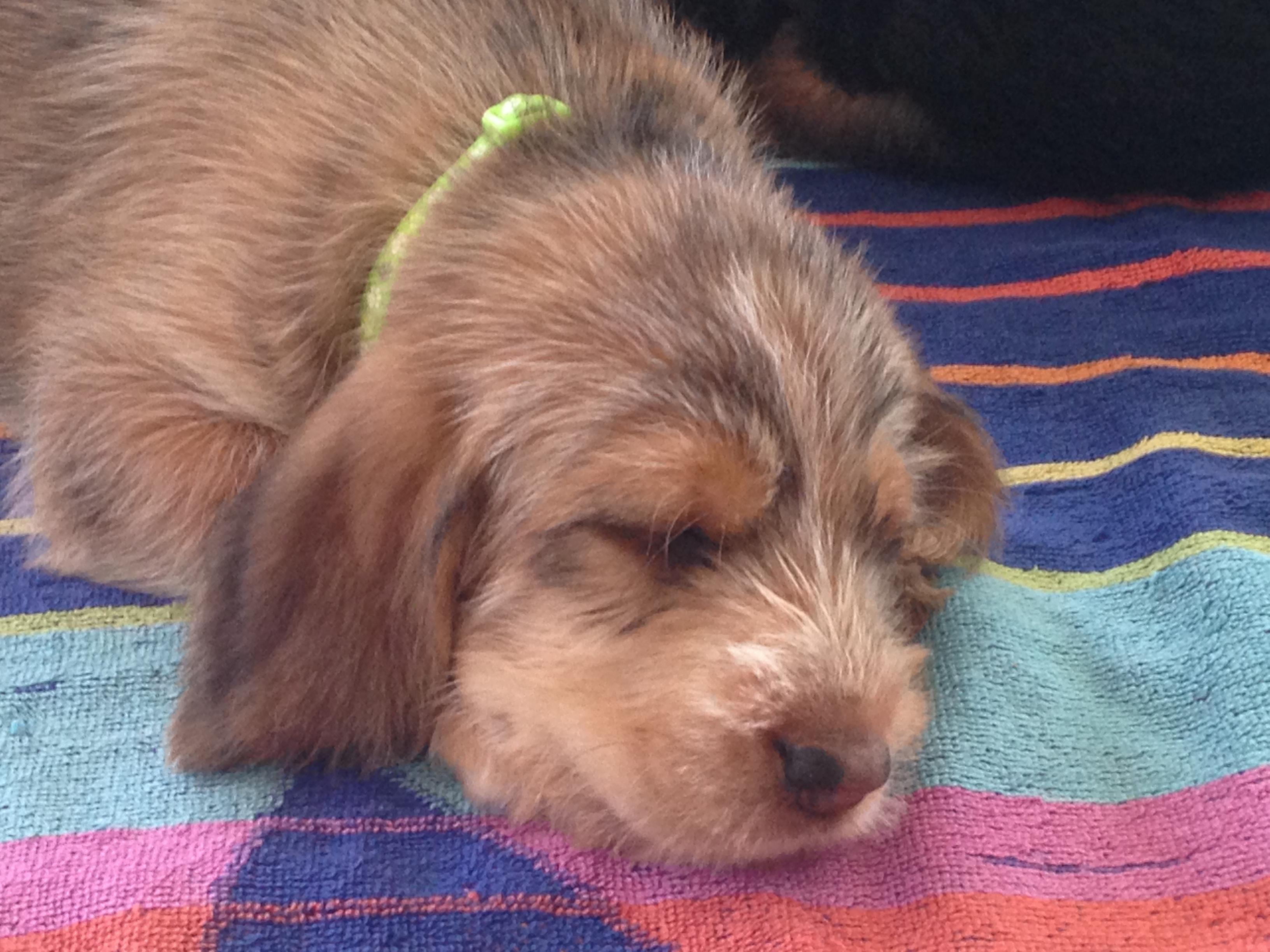 Blue Fairy Otterhound Puppies 2016: Day 38   Blue Fairy ...
