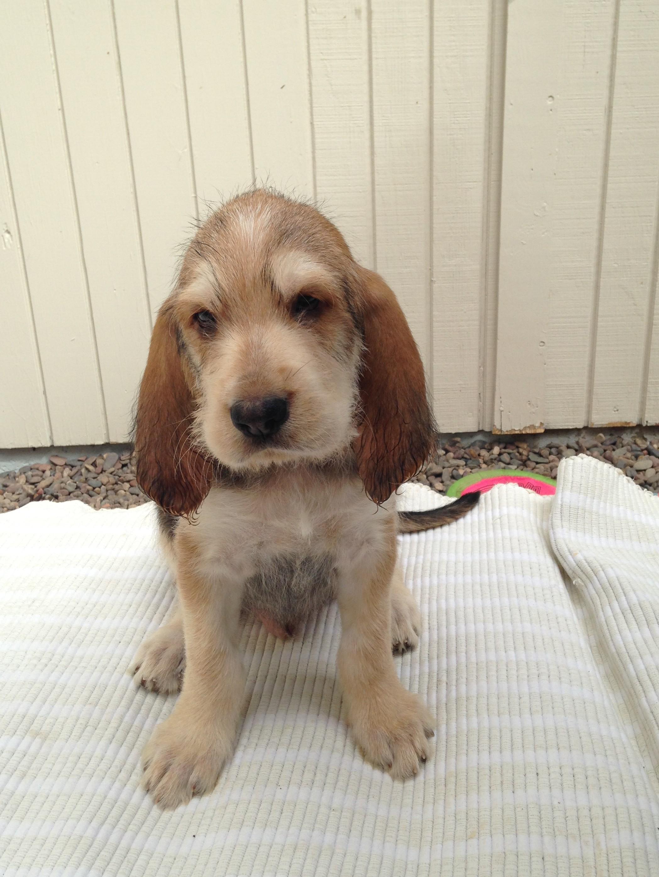 Blue Fairy Otterhound Puppies 2016: Day 49 – Lucas   Blue ...